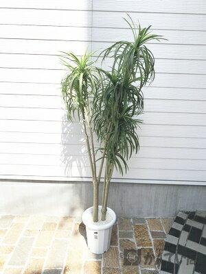 花・観葉植物, 観葉植物  180cm F70-100-8 USED-B