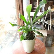 コウモリランビカクシダ5号鉢サイズ鉢植え