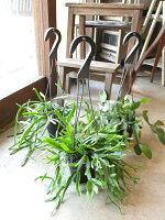 サボテン・リプサリスおまかせ3種セット(ブロメリア・ギフ3.5号鉢サイズ)