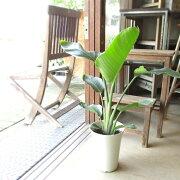 オーガスタストレリチアニコライ6号鉢サイズ鉢植えストレチア