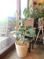 フィカスベンガレンシスオードリー7号鉢サイズ鉢植え