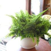 ネフロレピススコッチモス6号吊り鉢鉢植えスコッティ西洋タマシダシダ植物