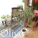【現品写真で選べます♪】【送料無料】小さな幸せ実らせて♪オリーブ2品種植え6号鉢…