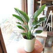 ストレリチアレギネ極楽鳥花ゴクラクチョウカ6号鉢サイズ鉢植えストレチア