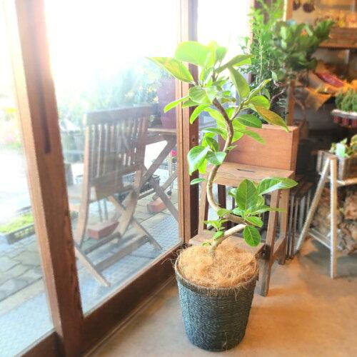 幹の曲線にライムグリーン♪フィカス アルテシーマ(曲がり仕立て)8号鉢サイズ 鉢植...