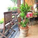 幸福の木 ドラセナ マッサンゲアナ 8号鉢サイズ 鉢植え 送料無料 薫る花 観葉植物 おしゃれ インテリアグリーン 大型 中型