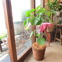 フィカス ウンベラータ 曲がり仕立て 7号鉢サイズ 鉢植え ゴムの木 送料無料 薫る花 観葉植物 おしゃれ インテリアグリーン 大型 中型 ウンベラータゴム ゴムノキ