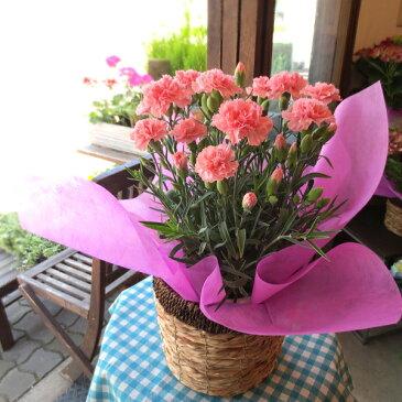 【送料無料】母の日の大定番♪上質のお花を厳選してお届け♪カーネーション(ピンク色)5号鉢サイズ 鉢植え【薫る花】【花 フラワー 鉢花 プレゼント ギフト 贈り物 母の日ギフト 母の日特集 早割り 2019年】