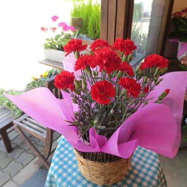 【送料無料】母の日の大定番♪上質のお花を厳選してお届け♪カーネーション(赤色)5号鉢サイズ 鉢植え【薫る花】【花 フラワー 鉢花 プレゼント ギフト 贈り物 母の日ギフト 母の日特集 早割り 2019年】