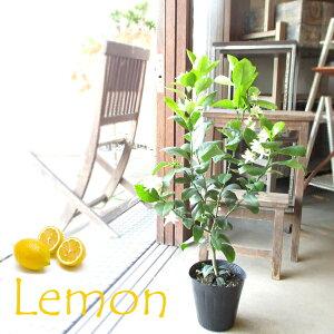 レモンの木 リスボン 6号鉢サイズ 接ぎ木 レモン 苗 苗木 鉢植え 送料無料 薫る花 庭木 シンボルツリー 常緑樹 果樹苗 フルーツ ガーデニング 実のなる木 国産 中型 小型