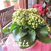 カランコエ クイーンローズパリ インテリア グリーン プレゼント サボテン 多肉植物 モアフラワーズ