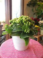 薔薇咲きカランコエ「クイーンローズパリ」5.5号鉢サイズ