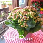 カランコエ クイーンローズピンクパリ インテリア グリーン プレゼント サボテン 多肉植物 モアフラワーズ