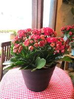 薔薇咲きカランコエ「クイーンローズマドリード」5.5号鉢サイズ