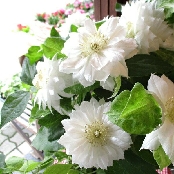 【送料無料】八重咲き クレマチス ダッチェス オブ エジンバラ 6号鉢サイズ 鉢植え 白色 ホワイト【薫る花】【花 フラワー 鉢花 プレゼント ギフト 贈り物 テッセン 母の日ギフト 母の日特集 早割り 2021年】