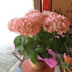 【送料無料】金賞受賞♪白色にピンクのラインがエレガント♪アジサイ「未来」5号鉢サイズ【楽ギフ_…