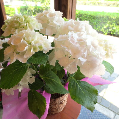 【送料無料】白いお花が魅力的な玉紫陽花(タマアジサイ)♪アジサイ「シュガーホワイト」5号鉢サイ…