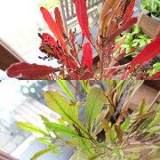 ドドナエアヴィスコサリトルファイアー6号鉢サイズ鉢植えビスコーサプルプレアポップブッシュの小葉タイプ