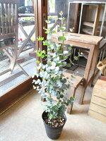ユーカリグニー5号鉢サイズ鉢植えグニーユーカリユーカリグニー