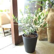オリーブの木2品種植え7号鉢サイズ黒色セラアート鉢ブラック鉢植え苗木