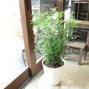 シマトネリコ 8号鉢サイズ 白色 セラアート鉢 鉢植え 送料無料 薫る花 庭木 シンボルツリー 常緑樹 大型 中型 ホワイト トネリコ