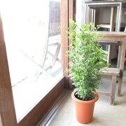 シマトネリコ6号鉢サイズ鉢植え