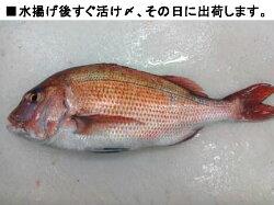 鯛一郎クン2kg活け〆