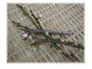 徳島県産他梅(うめ)の枝花(ピンク)