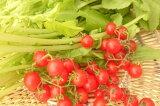 【旬のオススメ】愛知県産 マイクロトマト