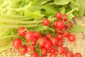 愛知県産マイクロトマト