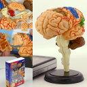 頭のストレッチ!人体解剖パズル(脳)