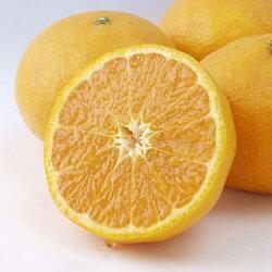 幻の柑橘『カラ・マンダリン』贈答用サイズ大玉7kg市場にもあまり出回っていません