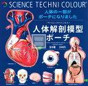 【コンプリート】【再販】サイエンステクニカラー 人体解剖模型ポーチ ★全8種セット