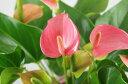【送料無料】【選べる2色】アンスリューム赤orピンク【バスケット付】 アンセリウム 観葉植物 【RCP】【楽ギフ_包装】内祝い 開店祝い …