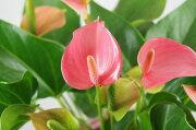 【季節の花鉢】アンスリュームピンク5号【バスケット付】アンセリウム観葉植物アンセリューム胡蝶蘭開店祝い激安