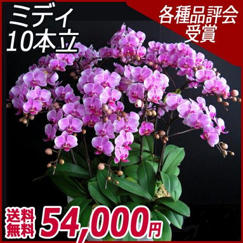 大輪胡蝶蘭3本立ち白ビジネスお祝いお供えギフト送料無料