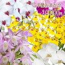 【父の日】洋蘭おまかせ10,000円 ファレノプシス(胡蝶蘭)ミニ マ...