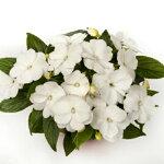 ガーデンニューギニアインパチェンスインパシオホワイト9cmポット苗