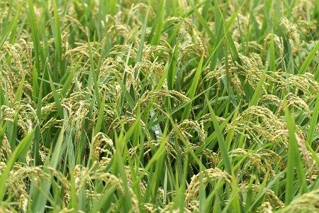 【新米!】ヒノヒカリ玄米のまま30kgもしくは精米済み白米27kg【平成29年:滋賀県産】【送料無料】