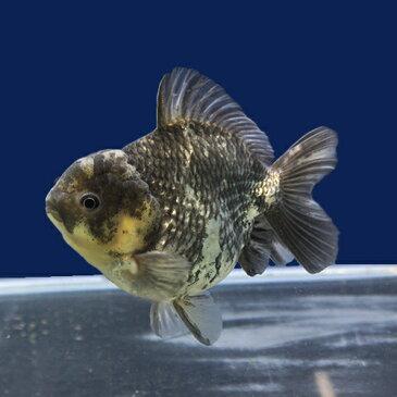 【金魚宝典】白黒ショートテールオランダ 明け2才(12.5cm±)★セレクト個体★