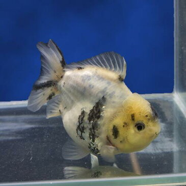 【金魚宝典】白黒ショートテールオランダ 明け2才(13cm±)★月間セール品です! セレクト個体★