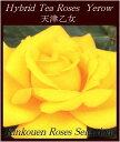 四季咲き大輪種 黄 2年生大苗□ バラ苗 HT黄天津乙女18cmLポット