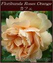 《バラ苗》《鉢花》《四季咲き》《園芸》《ガーデニング》□ バラ F橙カフェ18cmLポット