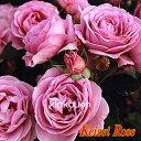 《バラ苗》《鉢花》《四季咲き》《園芸》《ガーデニング》□ バラFしのぶれど18cmLポット苗