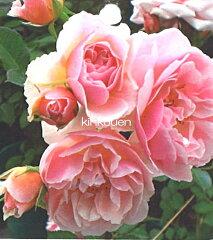 《バラ苗》《鉢花》《園芸》《ガーデニング》《四季咲き》□ バラCL桃フェリシア18cmLポット