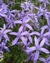 《花苗》《春に咲く花》《ガーデニング》《強い花》《寄せ植え》□ 【8株セット】 M-097 イソト...