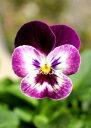 《寒さに強い花》《冬の花》《冬の花壇》《簡単に育つ花》《病気に強い花》□ 【4株セット】 V-...