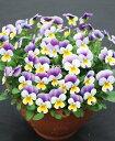 《寒さに強い花》《冬の花》《冬の花壇》《簡単に育つ花》《病気に強い花》□ V-19 ビオラ もも...