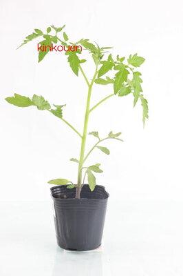 お日さまの味がする、昔ながらのトマト!□ トマト サターン9cm黒ポット苗 1株【予約苗】