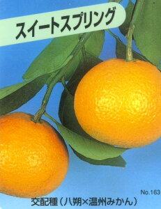 【20%OFF】みかん祭り・予約販売□果樹苗 柑橘・スイートスプリング18cmポット